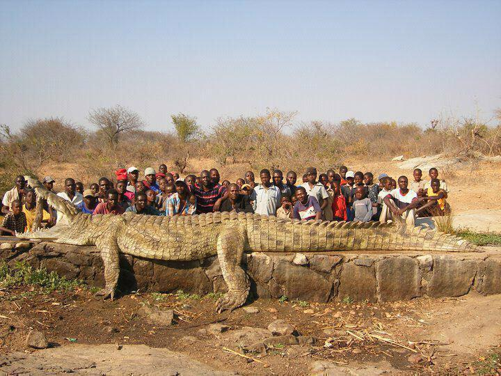 Enorme jacaré capturado e morto perto da fronteira da Namíbia com Angola